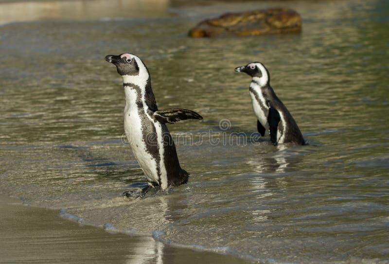Två afrikanska pingvin på stranden royaltyfri bild