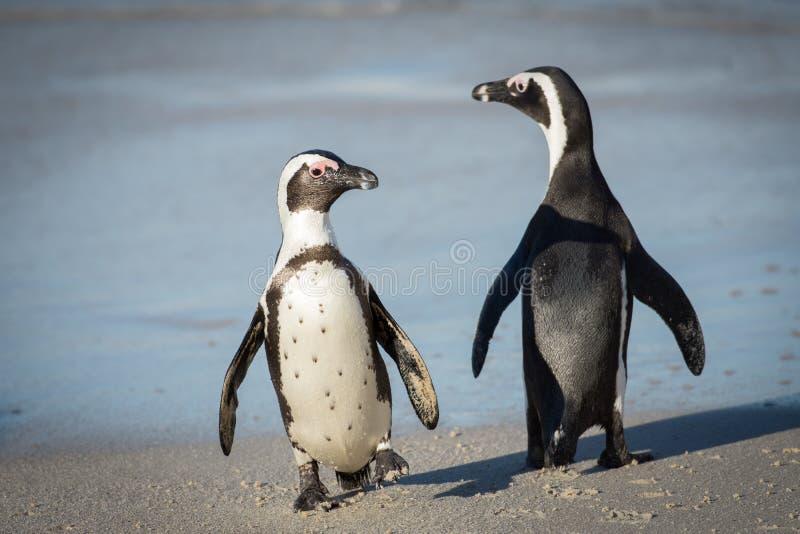Två afrikanska pingvin på stranden royaltyfri fotografi