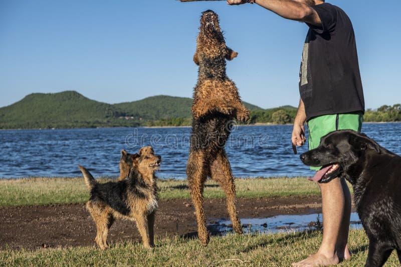 Två airedaleterrierterrierhundkapplöpning som spelar och hoppar med hans förlage royaltyfri fotografi