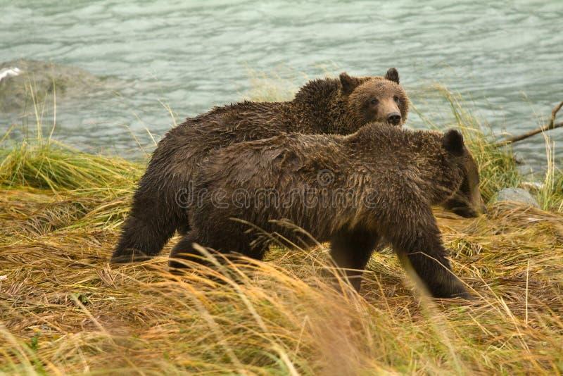 Två alaskabo brunbjörnsyskon som promenerar floden som söker efter laxen, Chilkoot flod royaltyfria foton