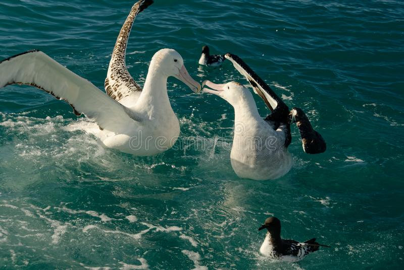 Två albatrossar slåss, medan sväva på havet arkivfoto