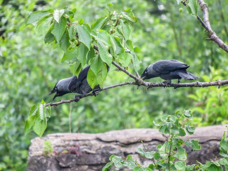 Två alikor sätta sig på ett körsbärsrött träd som bullersamt kallar arkivfoto