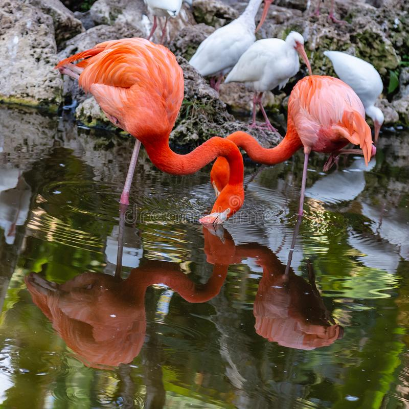 Två amerikanska flamingo med reflexioner på sjön fotografering för bildbyråer