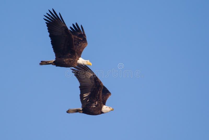 Två amerikanska skalliga Eagles i flykten royaltyfri bild