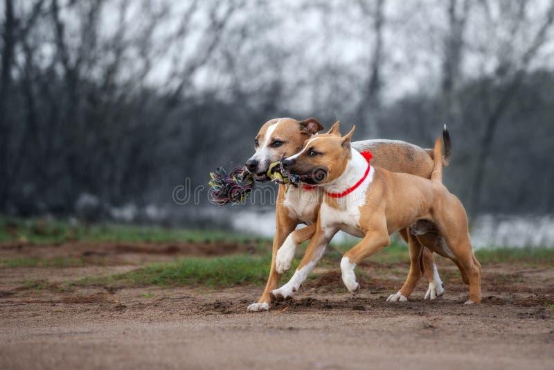 Två amerikanska staffordshire terrierhundkapplöpning som utomhus kör royaltyfria foton