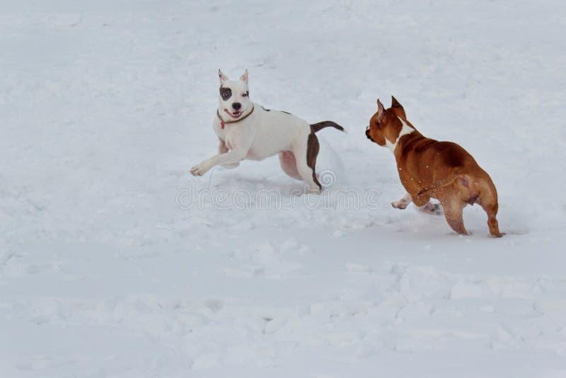 Två amerikanska staffordshire terrierpuppys är köra och spela på vit snö Älsklings- djur arkivbild
