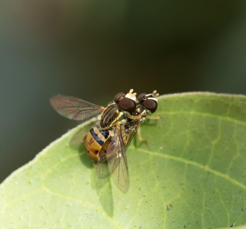 Två amerikanska svävandeflugor för para ihop arkivfoto