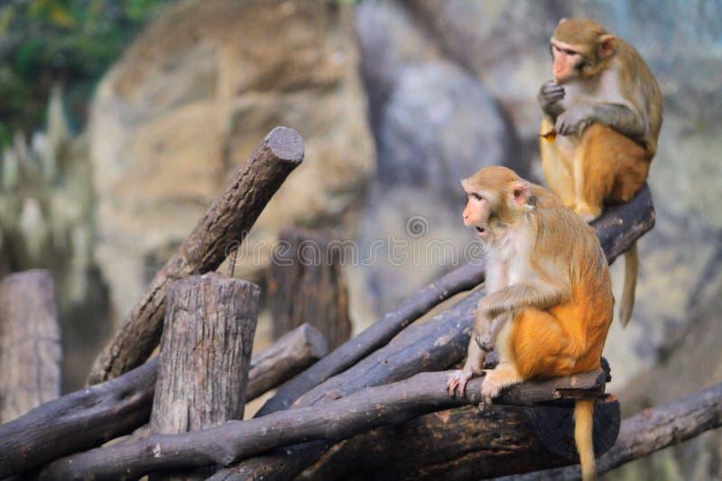 Två apor bor i ett Forest Park arkivbilder