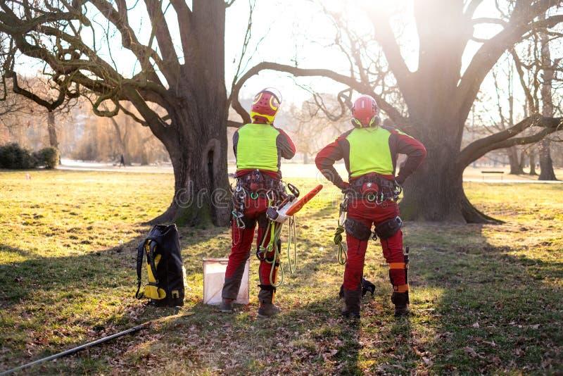 Två arboristmän som står mot två stora träd Arbetaren med hjälmen som arbetar på höjd på träden Skogsarbetare som arbetar med ch royaltyfria bilder
