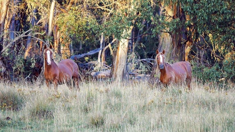 Två australierBrumby hingstföl royaltyfri fotografi