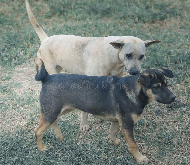Två av gullig hundkapplöpning som spelar på grönt gräs arkivfoton