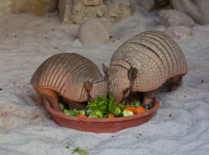 Två bältdjur som äter grönsaker fotografering för bildbyråer