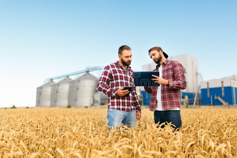 Två bönder står i ett vetefält med minnestavlan Agronomer diskuterar skörden och skördar bland öron av vete med korn arkivbild