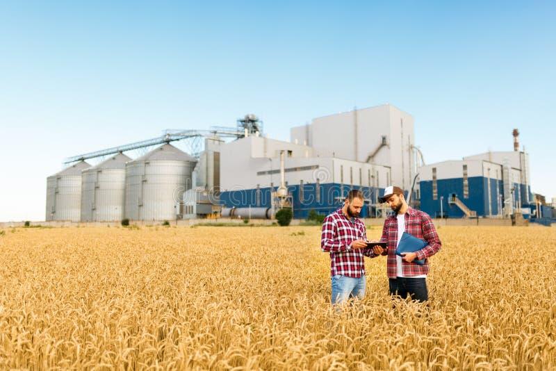Två bönder står i ett vetefält med minnestavlan Agronomer diskuterar skörden och skördar bland öron av vete med korn arkivfoto
