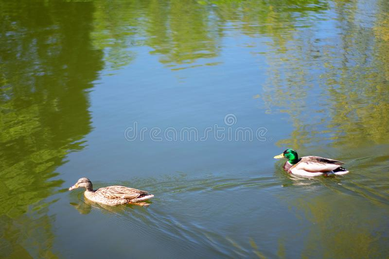 Två bad för fågelgräsandänder i sjön eller floden som staden parkerar V?r- eller sommardag arkivfoto