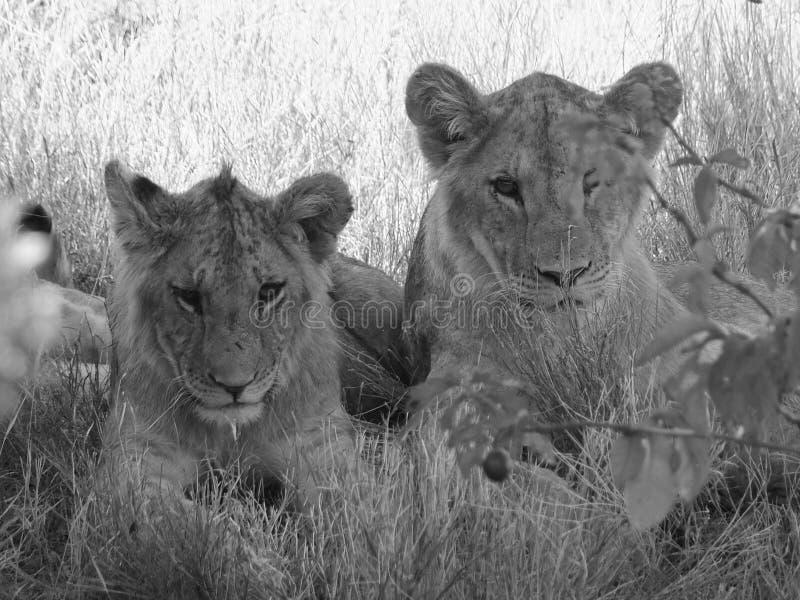 Två barnsliga lejon royaltyfri bild