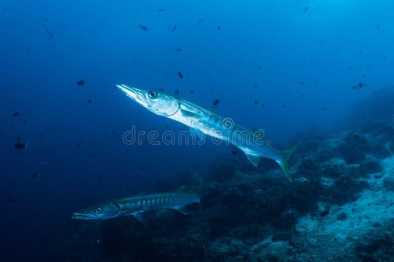 Två Barracudas arkivbild