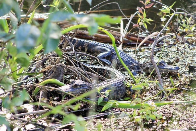 Två behandla som ett barn alligatorer bredvid vattnet royaltyfri fotografi