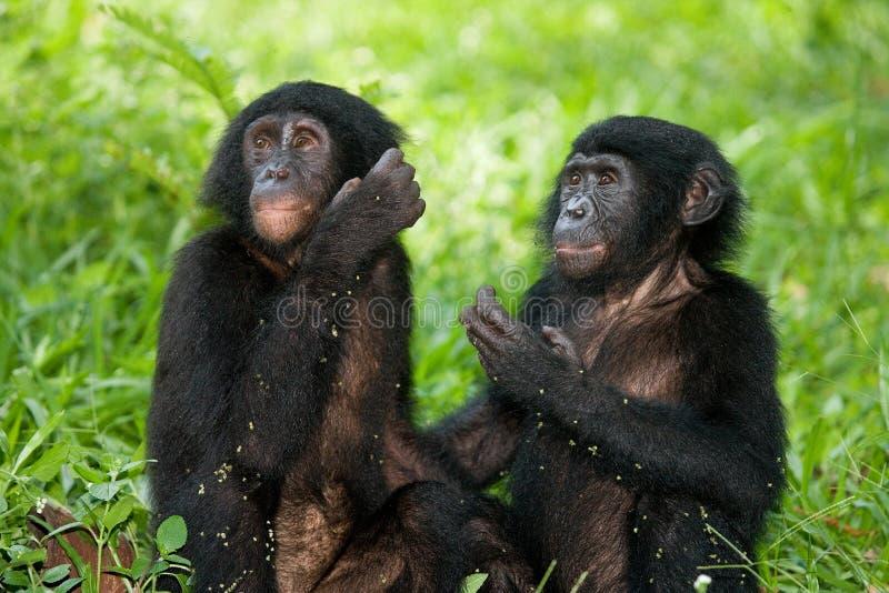 Två behandla som ett barn Bonobosammanträde på gräset congo demokratisk republik Lola Ya BONOBOnationalpark fotografering för bildbyråer