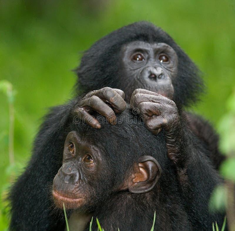 Två behandla som ett barn Bonobosammanträde på gräset congo demokratisk republik Lola Ya BONOBOnationalpark arkivbilder