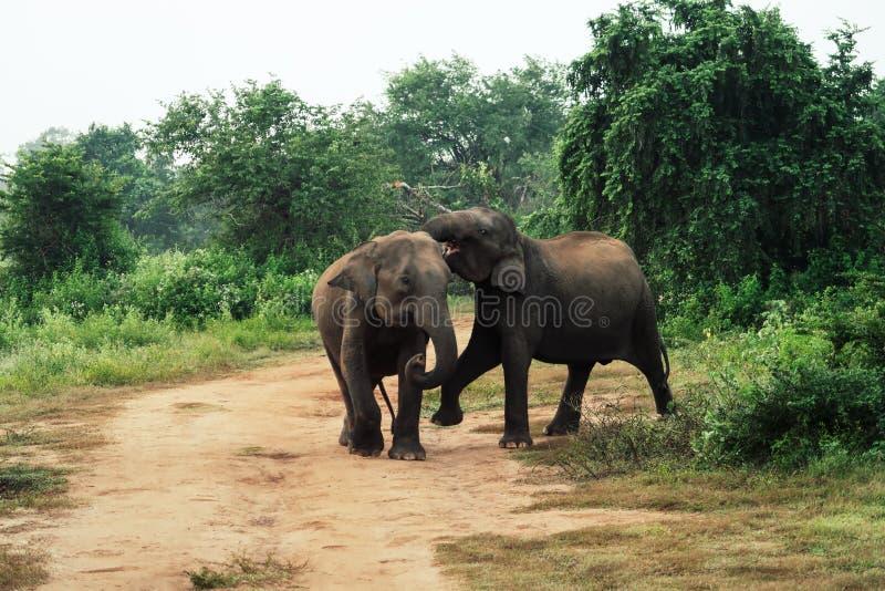 Två behandla som ett barn elefanter som spelar inom udawalawenationalparken, Sri Lanka arkivfoton