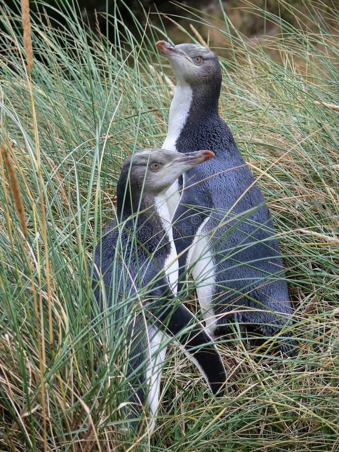 Två behandla som ett barn guling-synade pingvin som döljer i långt gräs, Otago, Nya Zeeland royaltyfria foton