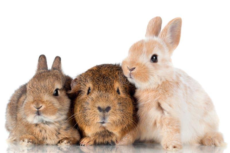 Två behandla som ett barn kaniner och försökskaninen royaltyfria foton