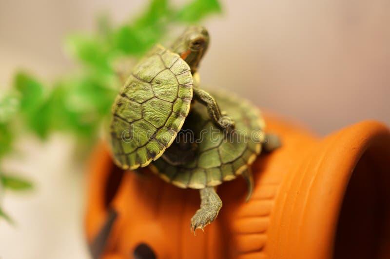 Två behandla som ett barn sköldpaddor royaltyfri foto
