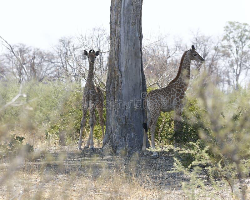 Två behandla som ett barn sydliga giraff i den afrikanska busken royaltyfri fotografi