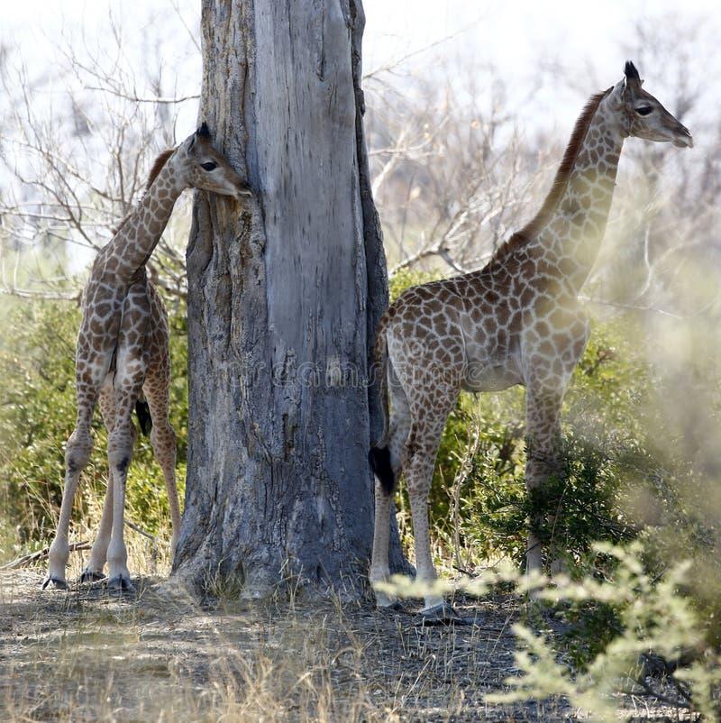 Två behandla som ett barn sydliga giraff i den afrikanska busken royaltyfri bild