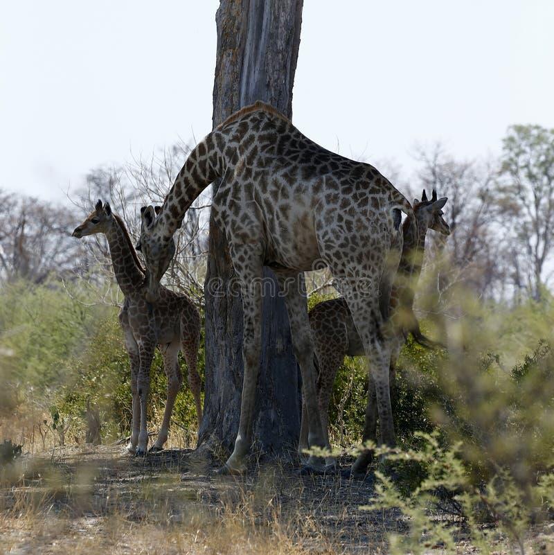 Två behandla som ett barn sydliga giraff i den afrikanska busken fotografering för bildbyråer
