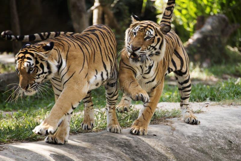 Två bengal tigrar arkivfoton