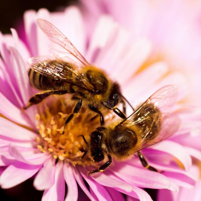 Två bin på en blommapollination royaltyfri bild