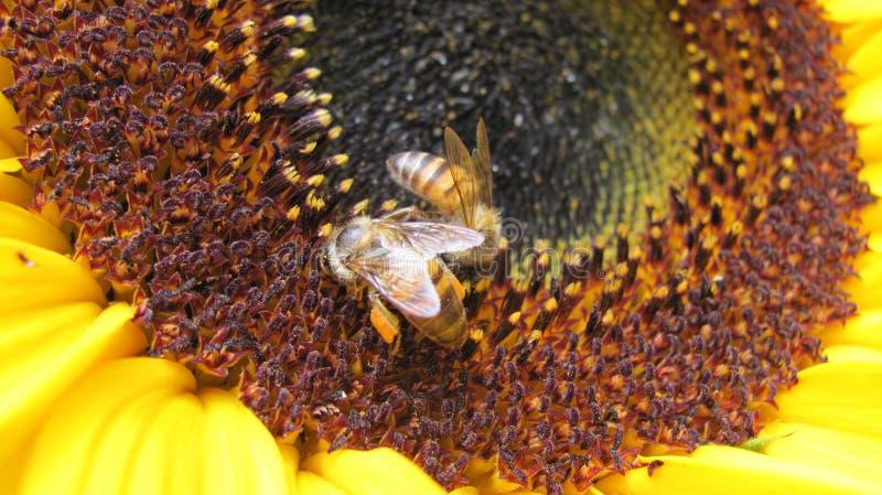 Två bin på en solros royaltyfri foto