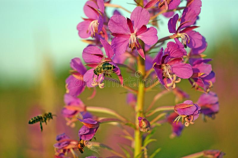 Två bin samlar nektar från kiprei arkivfoton