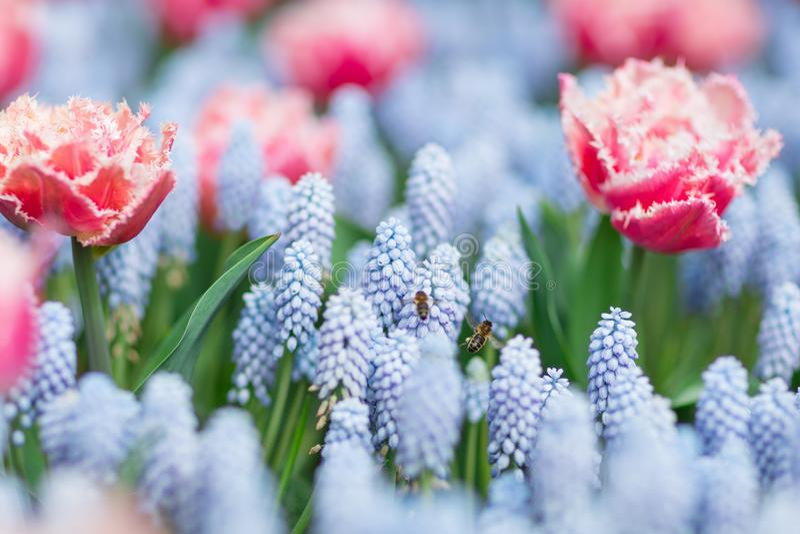 Två bin som flyger bland rosa färger och vit satte fransar på tulpan och blå gra royaltyfri fotografi