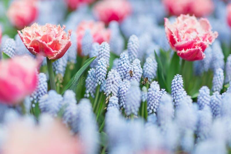 Två bin som flyger bland rosa färger och vit satte fransar på tulpan och blå gra royaltyfria bilder