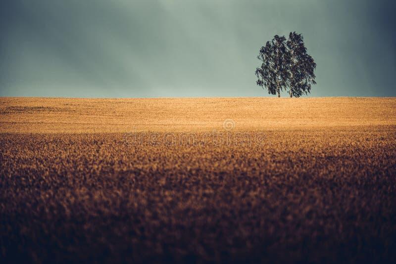 Två björkträd i guld- vetefält fotografering för bildbyråer