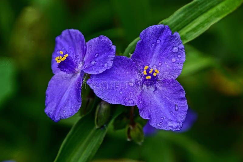 Två blåa blommaknoppar i droppar av vatten och en lång gräsplan spricker ut royaltyfri bild