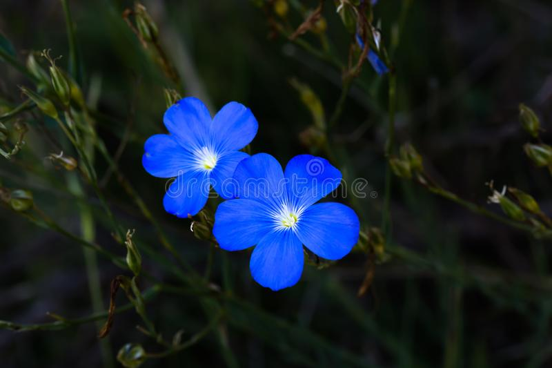 Två blåa blommor med fem kronblad royaltyfri fotografi
