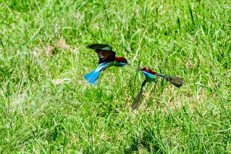 Två blåa throated biätare i en flyg- duell royaltyfria bilder