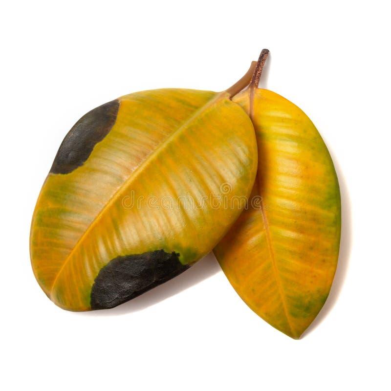 Två blad av fikus är gula och täckta med svarta fläckar på grund av brist på vitaminer och näringsämnen arkivbilder