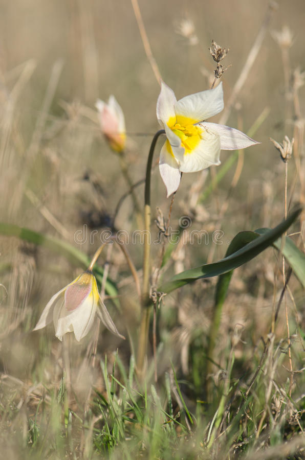 Två-blommad tulpan i gräset arkivfoton