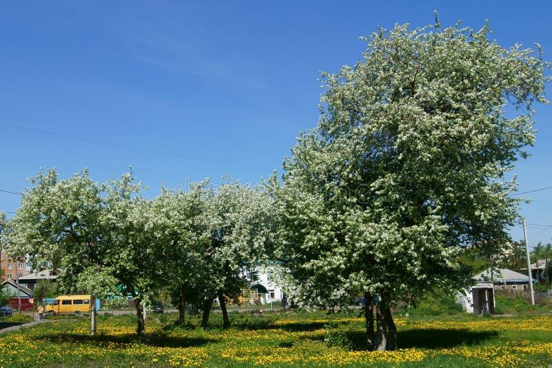 Två blommande äppleträd i en vår med gula maskrosor royaltyfri bild