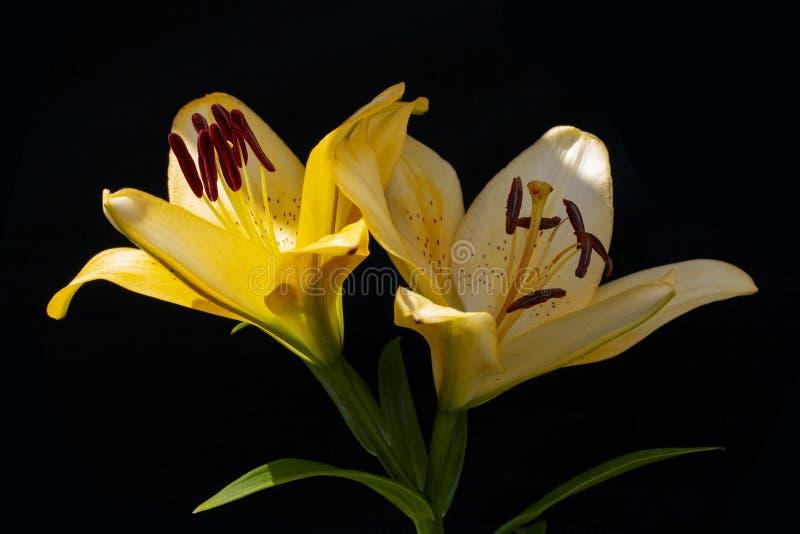Två blommor av gul lilja på svart som bakgrundsserve till wallpaperen arkivbilder