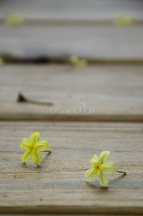 Två blomstrar gul dvärg Mussaenda på träplank efter häftigt regn royaltyfri fotografi