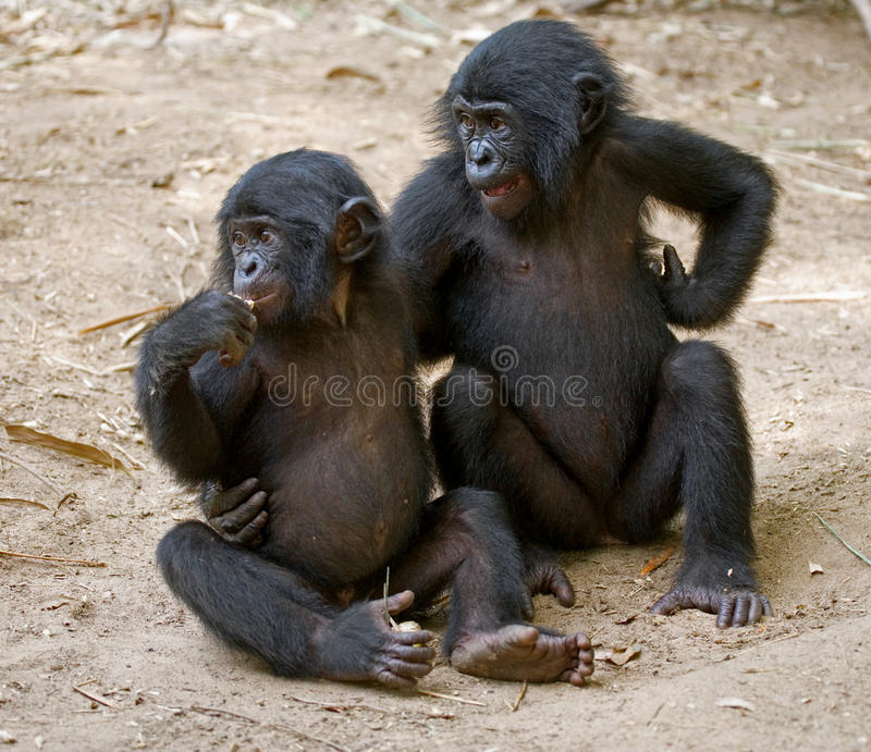 Två Bonobos sitter på jordningen congo demokratisk republik Lola Ya BONOBOnationalpark royaltyfria foton