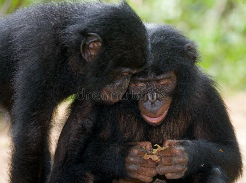 Två Bonobos som ser något congo demokratisk republik Lola Ya BONOBOnationalpark arkivfoto