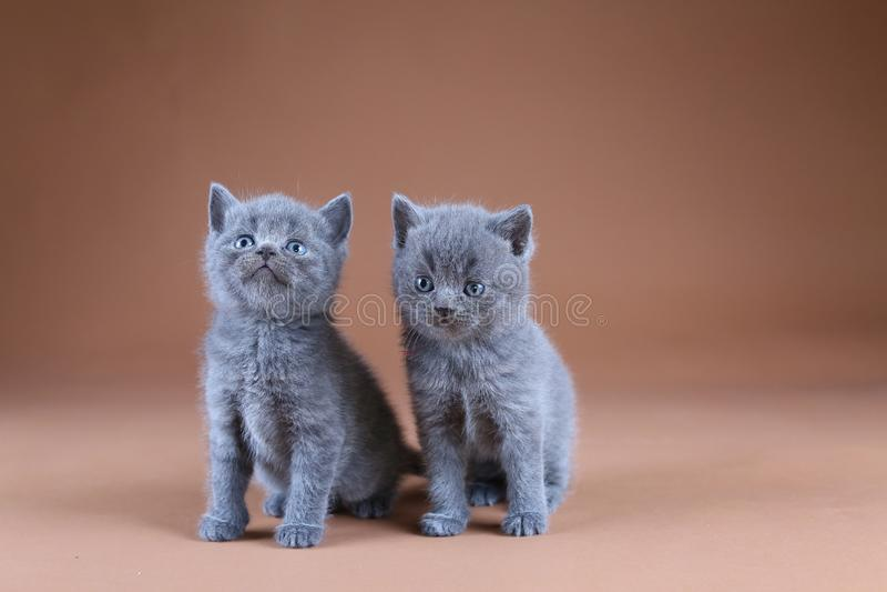 Två brittiska Shorthair kattungar, isolerad stående, beige bakgrund royaltyfri foto