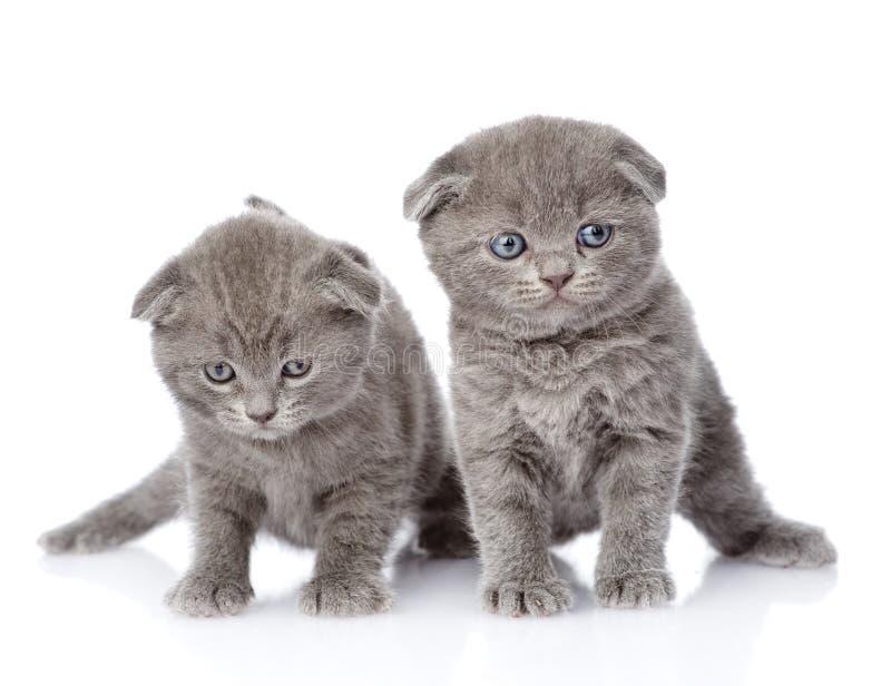 Två brittiska shorthairkattungar bakgrund isolerad white royaltyfria foton